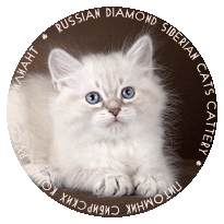 Neva masquerade kittens from Russia, siberian kitters for sale